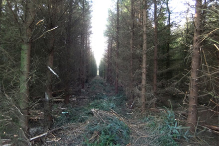 Clearing a forest path
